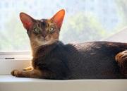 Великолепный абиссинский кот переедет в новый дом