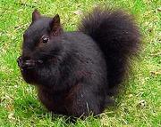 Білка руда або звичайна,  чорна білка білки для племінного розведення
