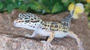 Леопардовые гекконы подростки и малыши. Ручные,  Киев https://www.ukrbo