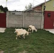 Срочно продам коз породистые