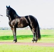 Красивая черная женская фризская лошадь для продажи